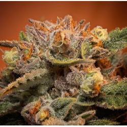 California Orange Bud Femelle