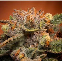Buy California Orange Bud feminized seeds