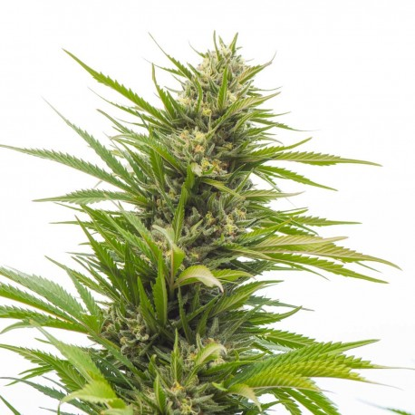 Buy Bubblelicious seeds