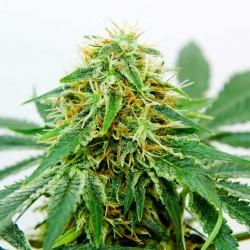 Buy Northern Light x Shiva feminized seeds