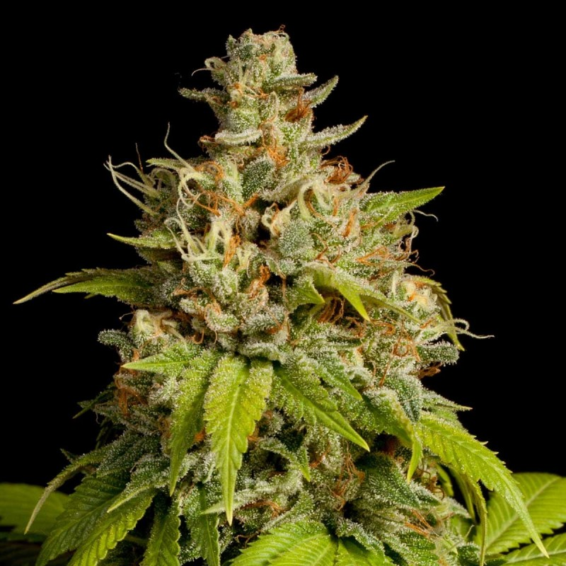 Graine de durban poison high supplies for Graine cannabis exterieur