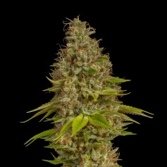 Buy Early Special feminized seeds