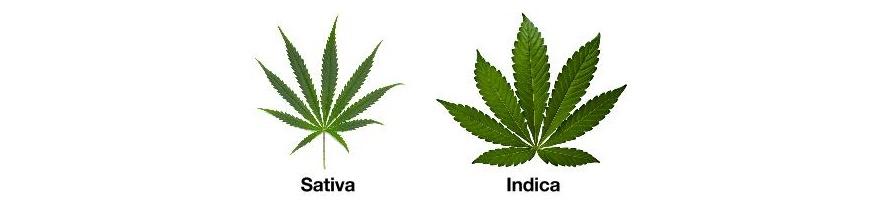 Sativa et Indica