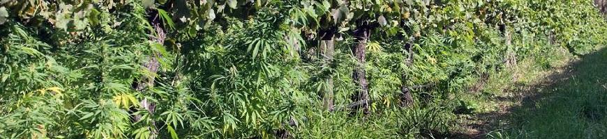 Plantation de cannabis cachée