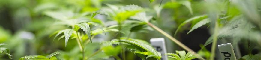Cannabis : clone ou graines