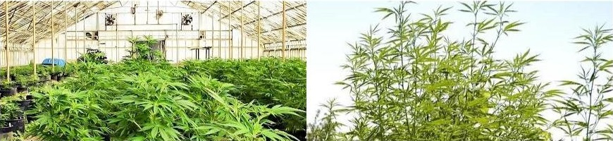 La culture de cannabis en int rieur ou ext rieur for Cannabis interieur