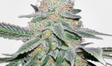 Enjoy Indica Crystal Extreme, the little secret behind marijuana ice seeds