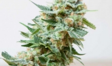 Misty Feminized seeds are Right Options for Experienced Growers a